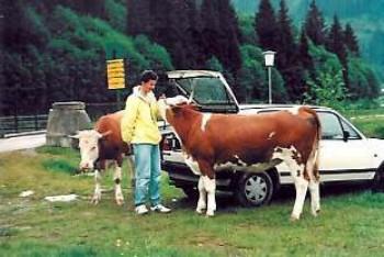 kühe350jpg